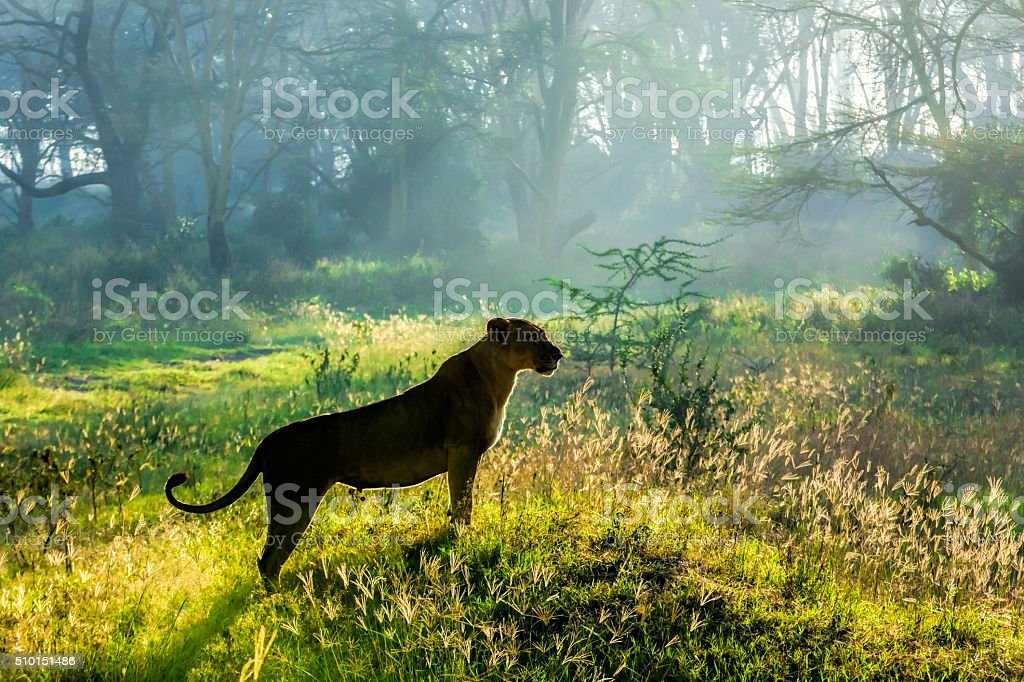Lioness at wild watching for preying stock photo