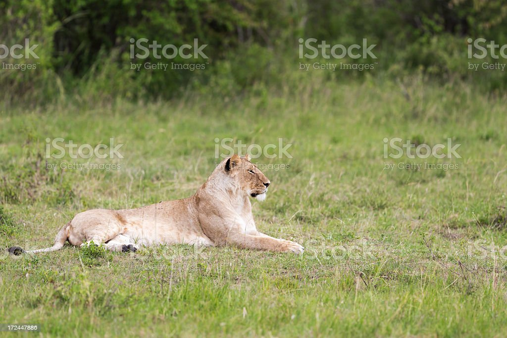Lioness at wild - watching / open eyes royalty-free stock photo