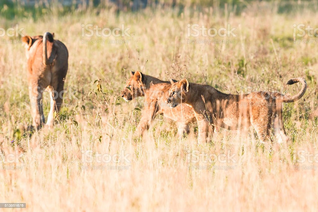 Lioness at wild with cubs - walking at sunrise stock photo