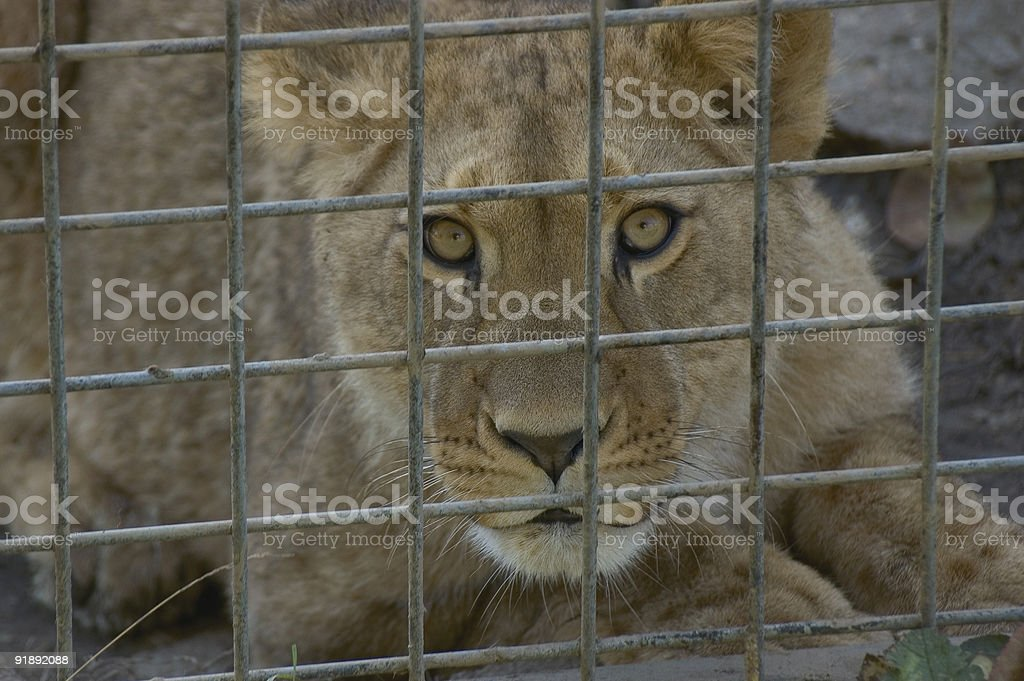 lioness behind bars royalty-free stock photo
