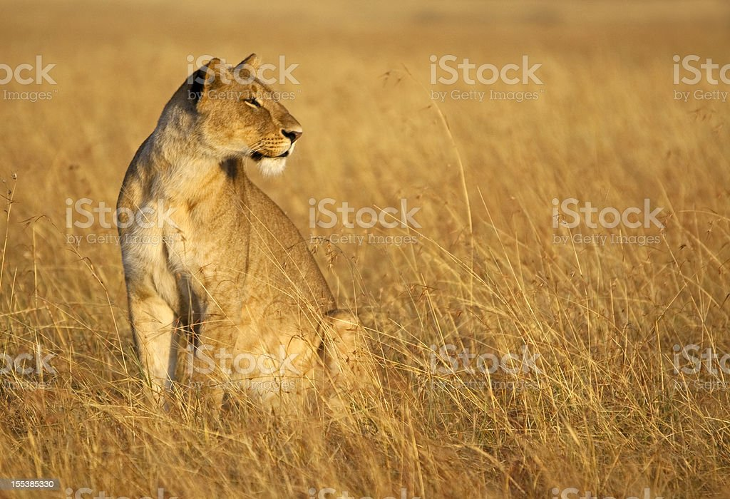 Lioness blends into the grass royalty-free stock photo