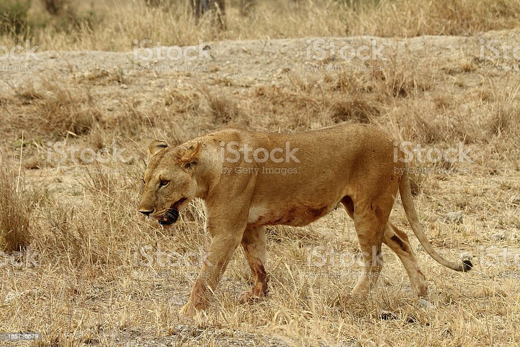 Lioness- Bloody with Mouth Foaming royalty-free stock photo