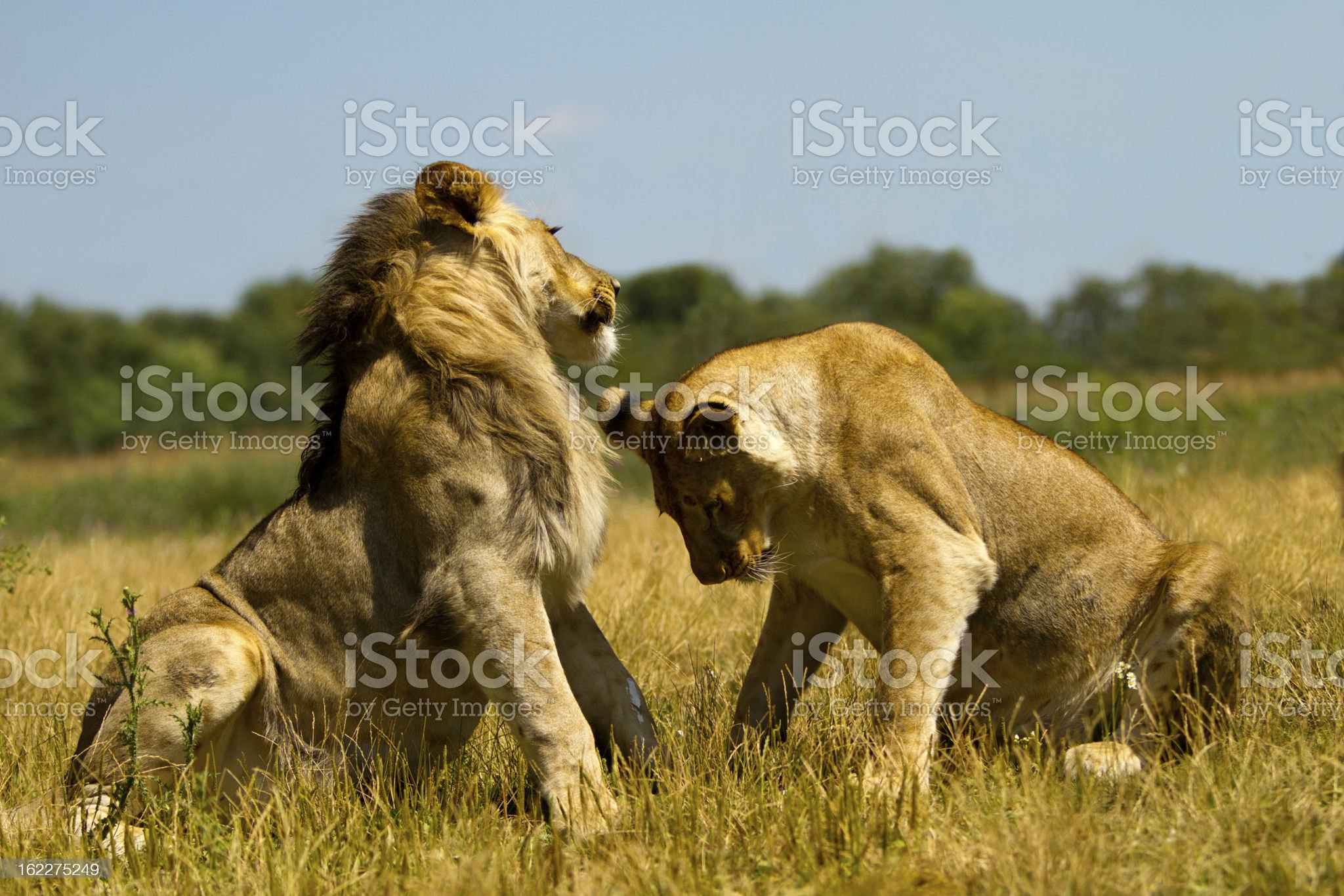 Lioness bowing down to her king royalty-free stock photo
