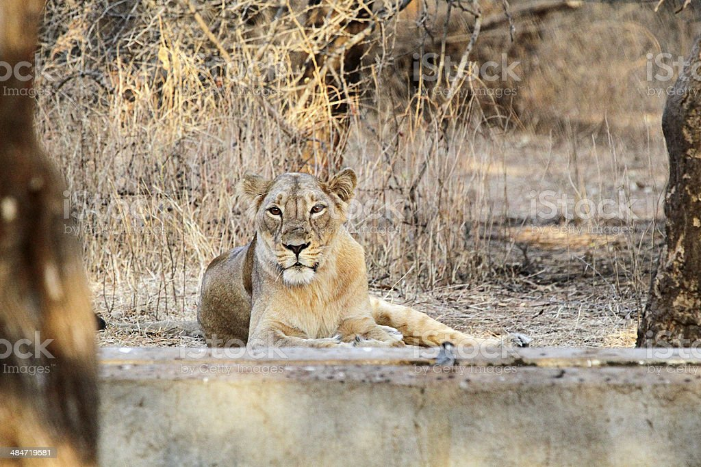 Lioness Caught at Rest stock photo