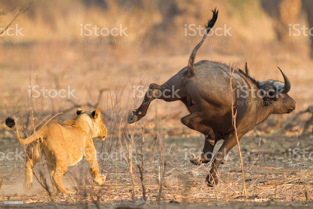 Lioness (Panthera leo) chases after an African Buffalo (Syncerus caffer) stock photo