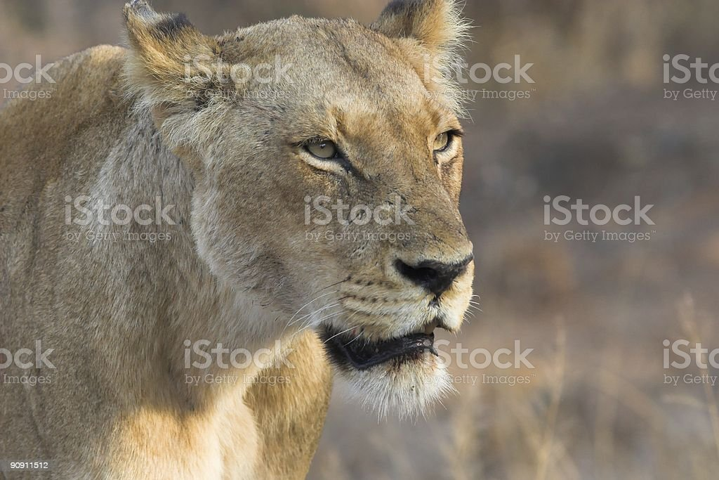Lioness Close up stock photo