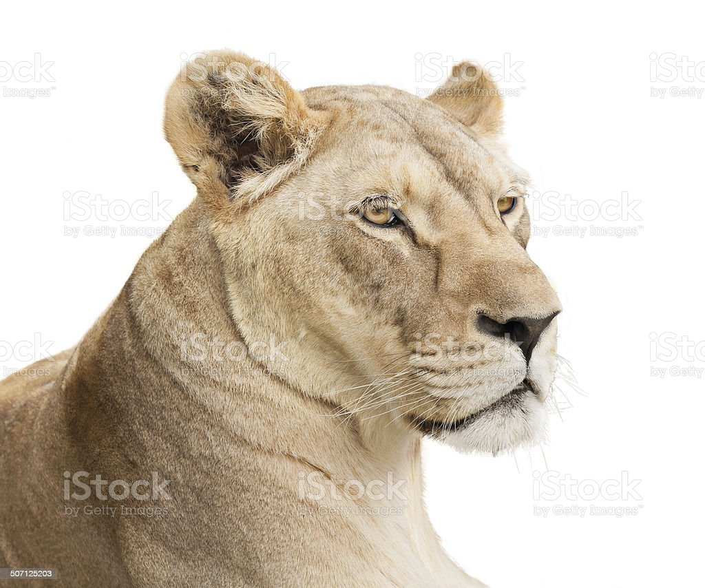 Lioness face stock photo
