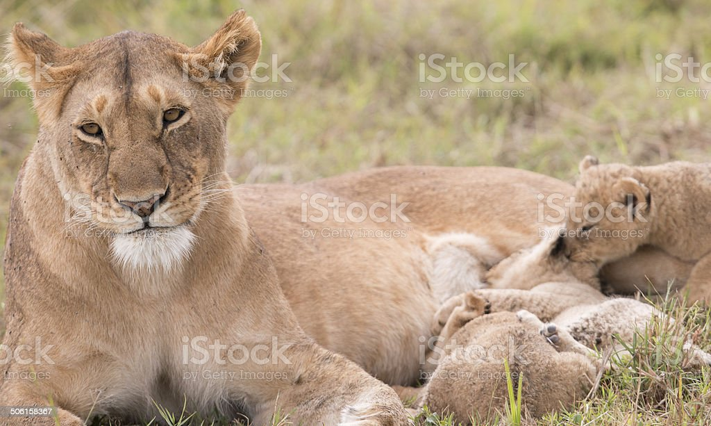 Lioness feeding her tiny cubs in the wild royalty-free stock photo