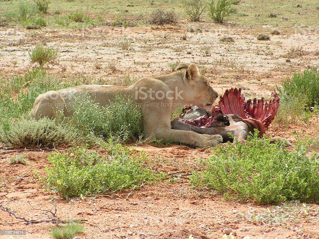 Lioness feeding2 royalty-free stock photo