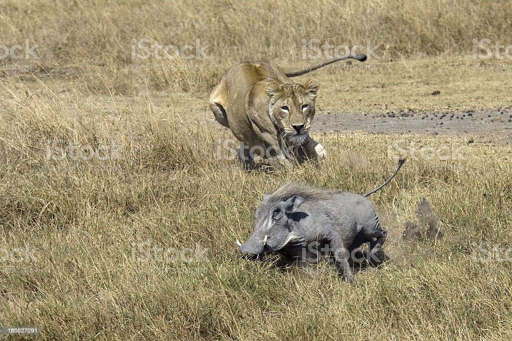 Lioness hunting warthog in African Serengeti stock photo