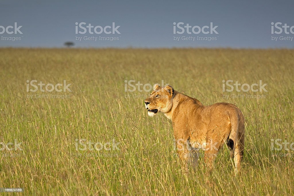 Lioness in high grass royalty-free stock photo