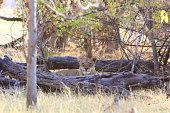 Lioness in Moremi, Okavango Delta, Botswana
