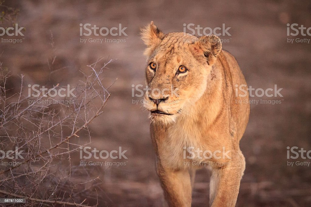 Lioness in the early morning sun stock photo