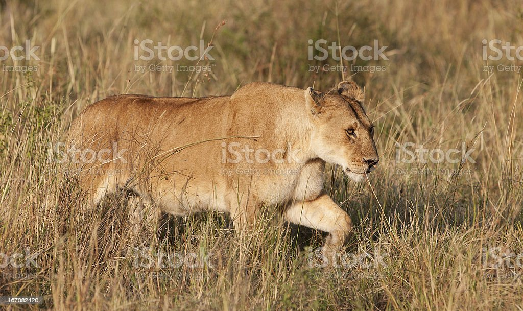 Lioness in the Maasai Mara royalty-free stock photo