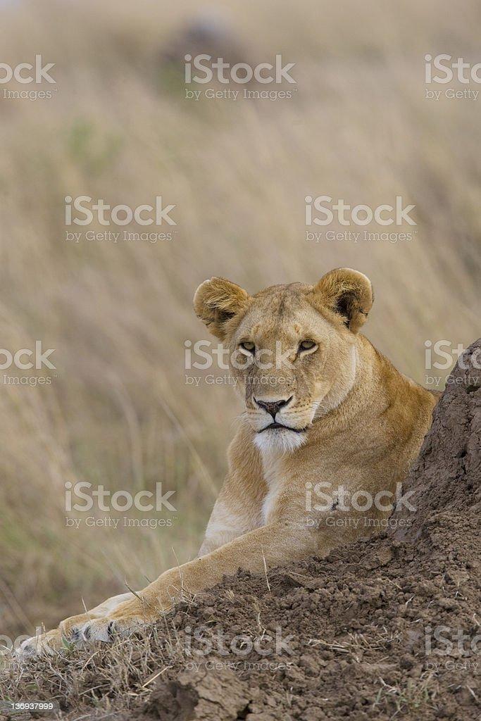 Lionne du Masaï Mara photo libre de droits