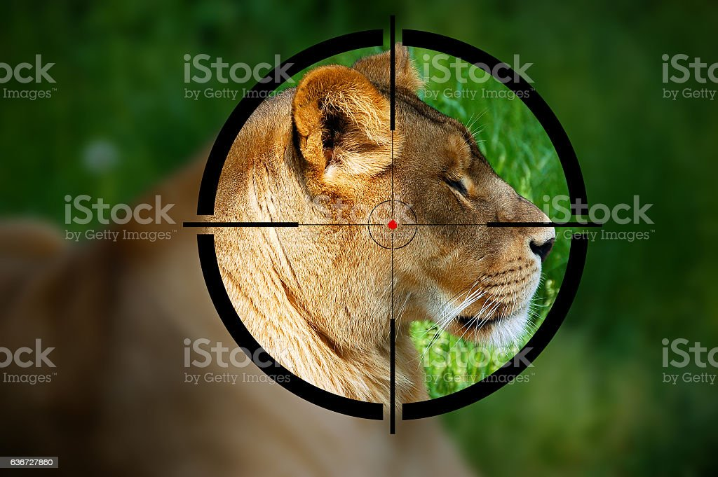 Lioness in the Rifle Sight stock photo