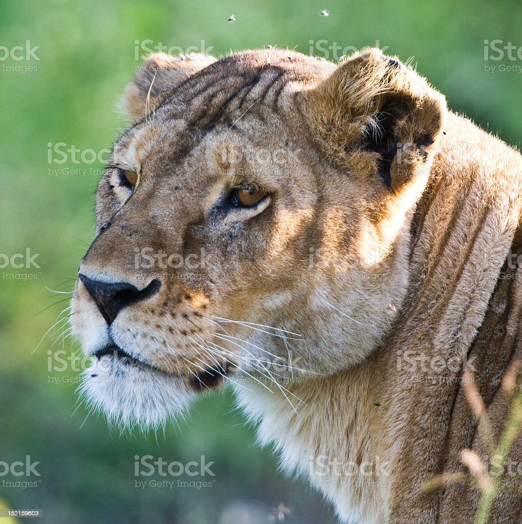 Lioness in the Serengeti royalty-free stock photo
