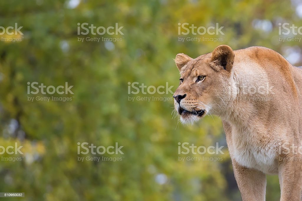 Lioness in the wild stock photo