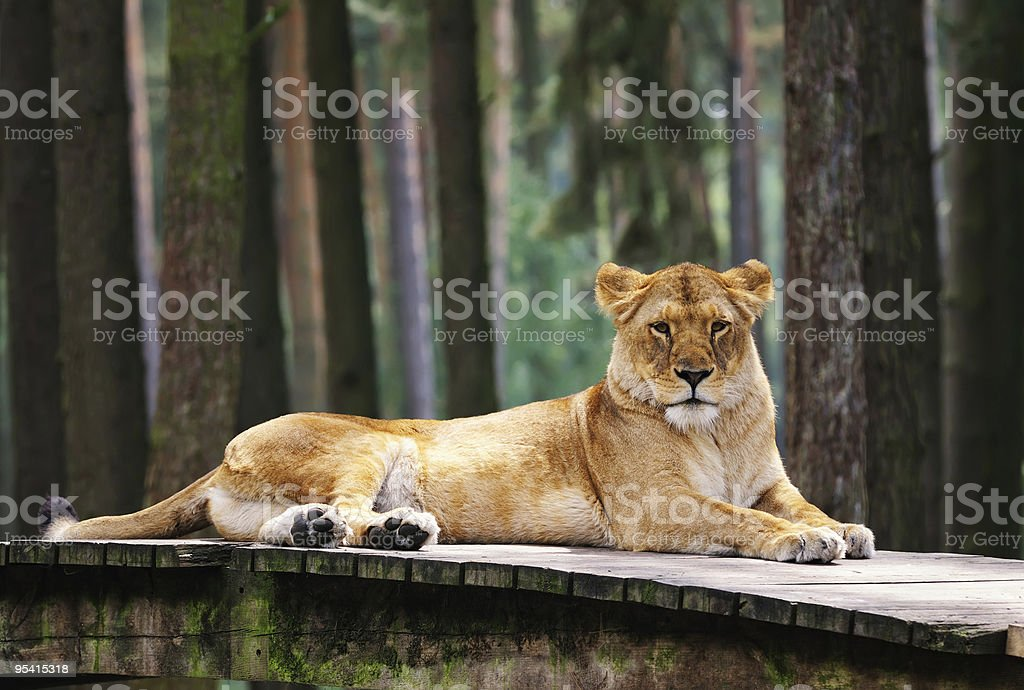 Lioness is on the rest stock photo