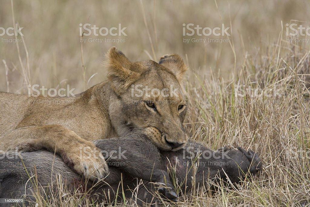 Lionne tuer un Phacochère du Masaï Mara photo libre de droits
