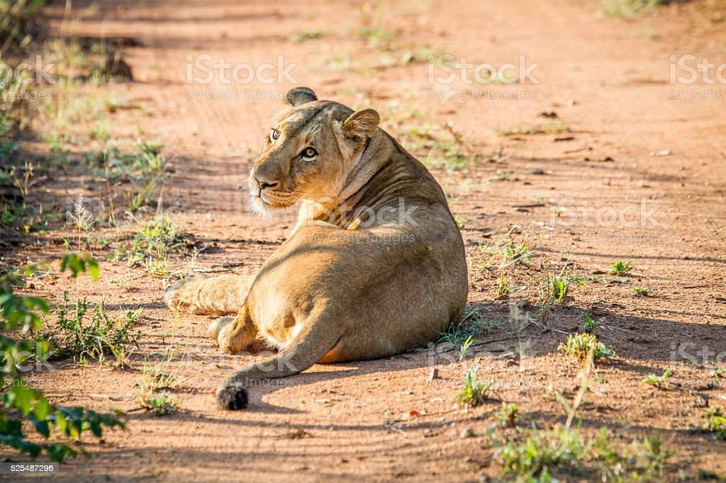 Lioness laying in the road in the Mkuze Game Reserve. stock photo