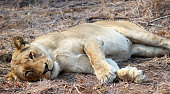 Lioness looking