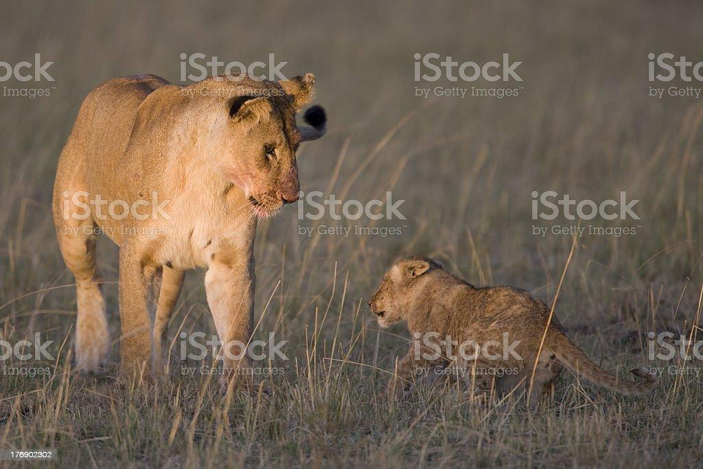 Lionne looks de la cub du Masaï Mara photo libre de droits