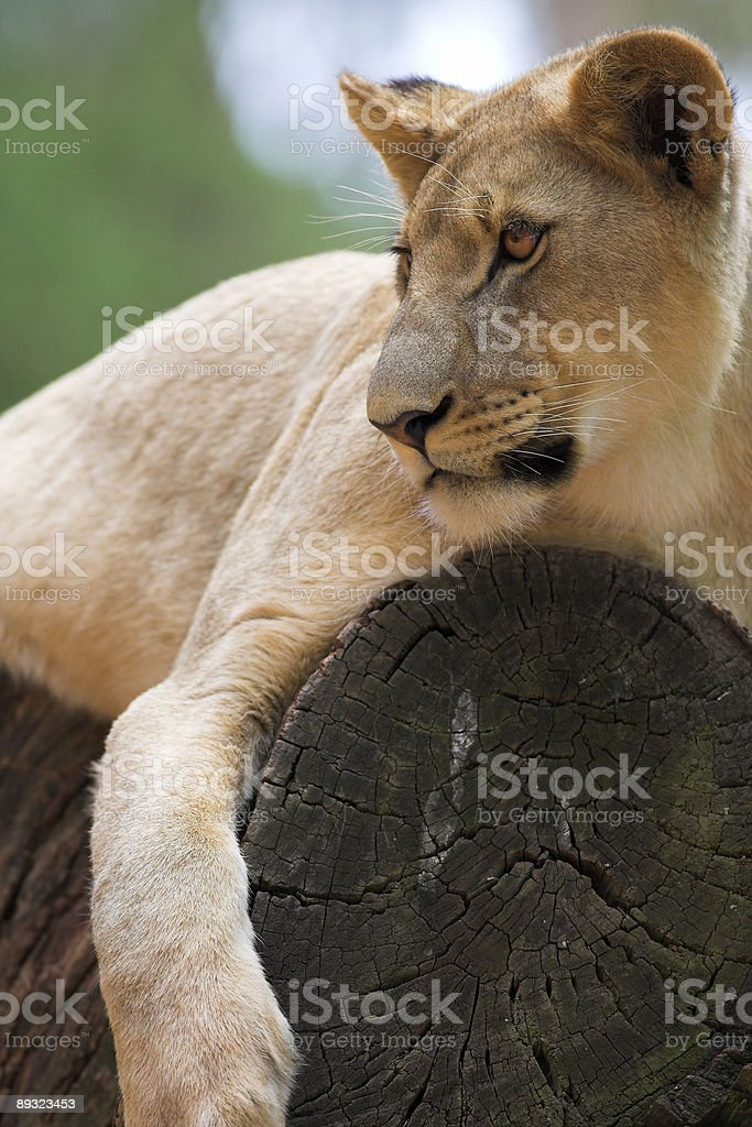 Lioness lying on a tree stump royalty-free stock photo