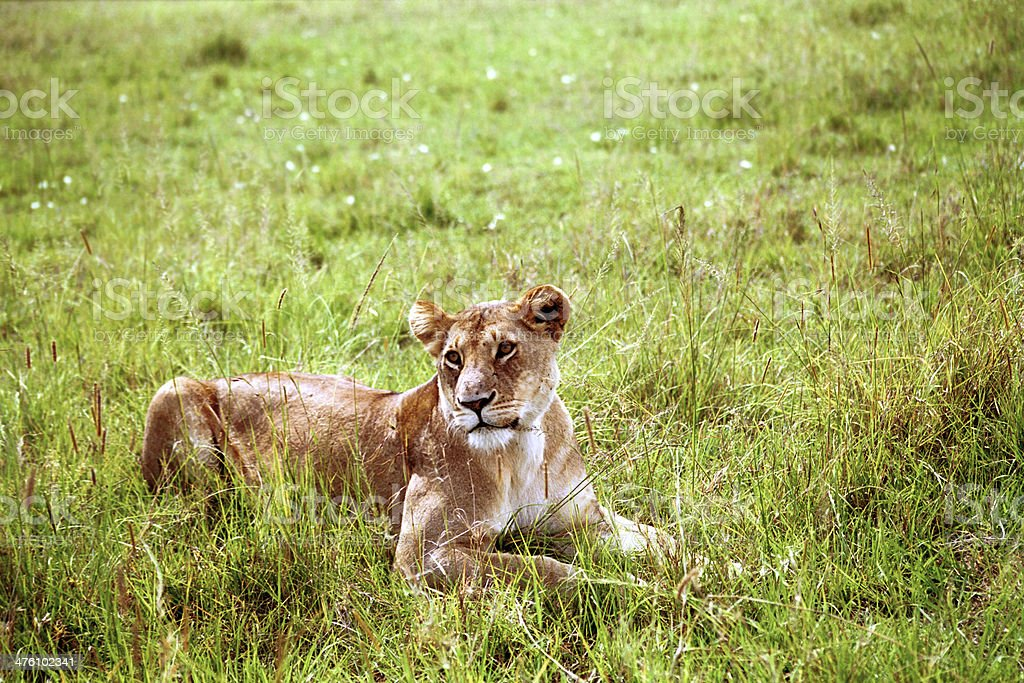 Lioness, Masaai Mara, Kenya stock photo