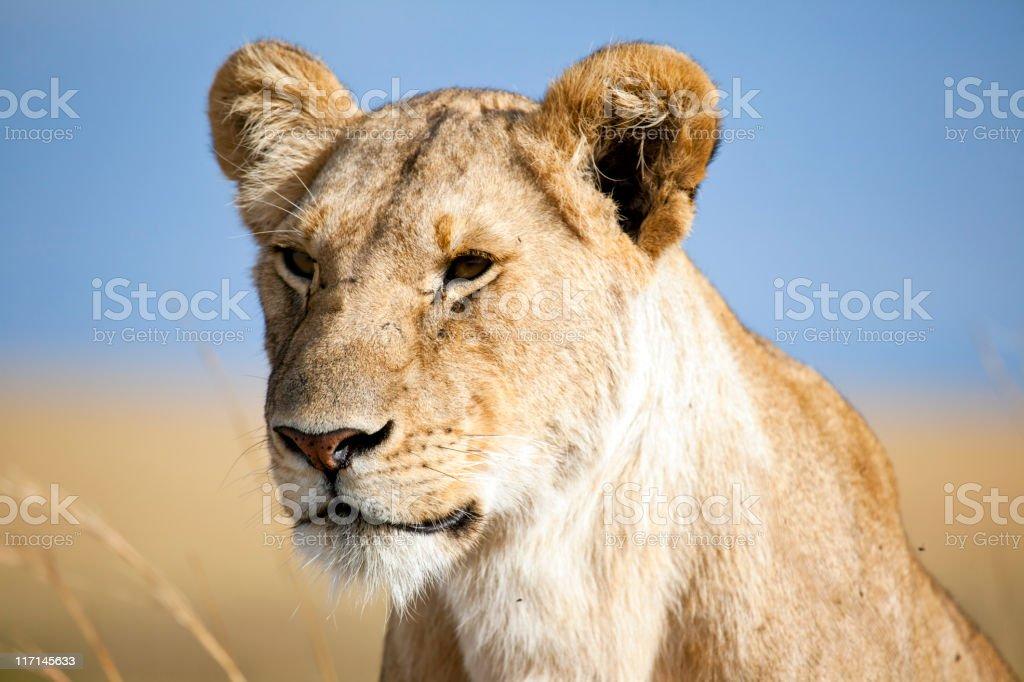 Lioness, Masai Mara, Kenya royalty-free stock photo