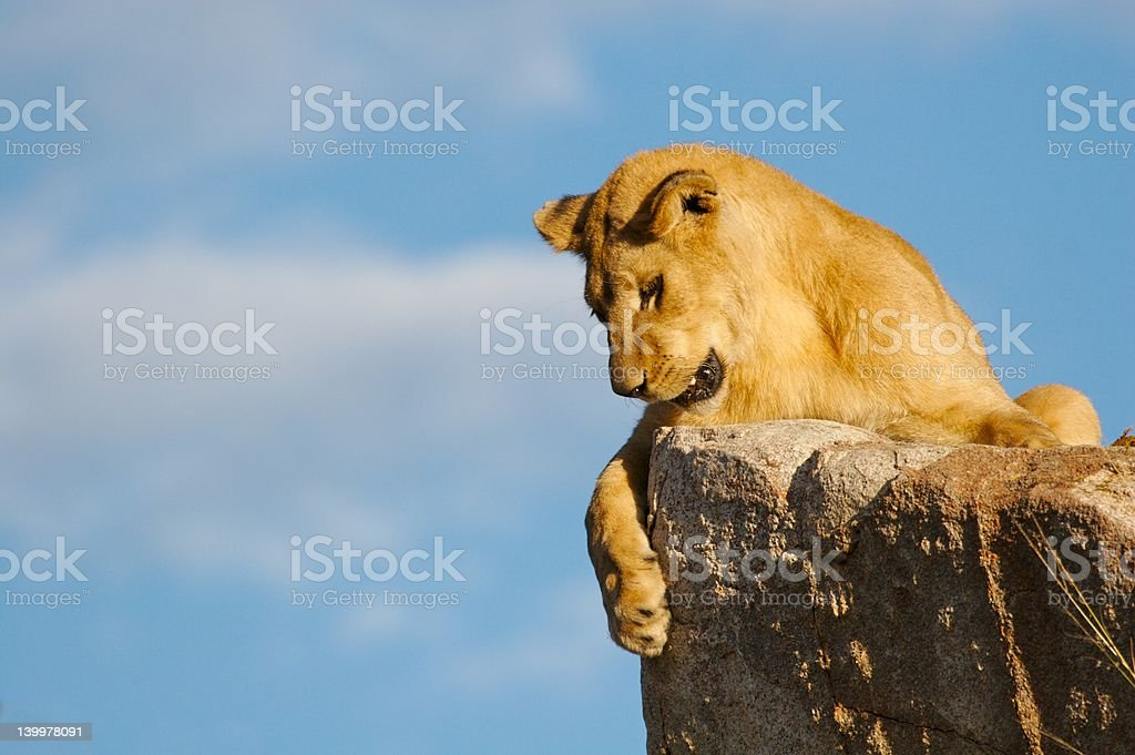 Lioness on a rock royalty-free stock photo