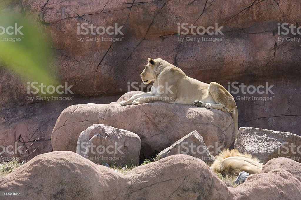 Lioness on rocks royalty-free stock photo