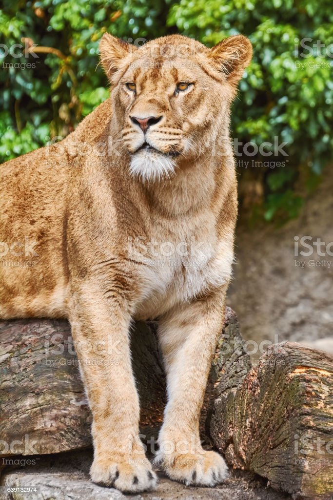Lioness on the Log stock photo