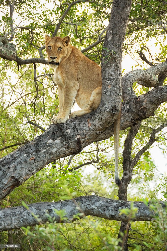 Lioness On Tree in Kruger Wildlife Reserve stock photo