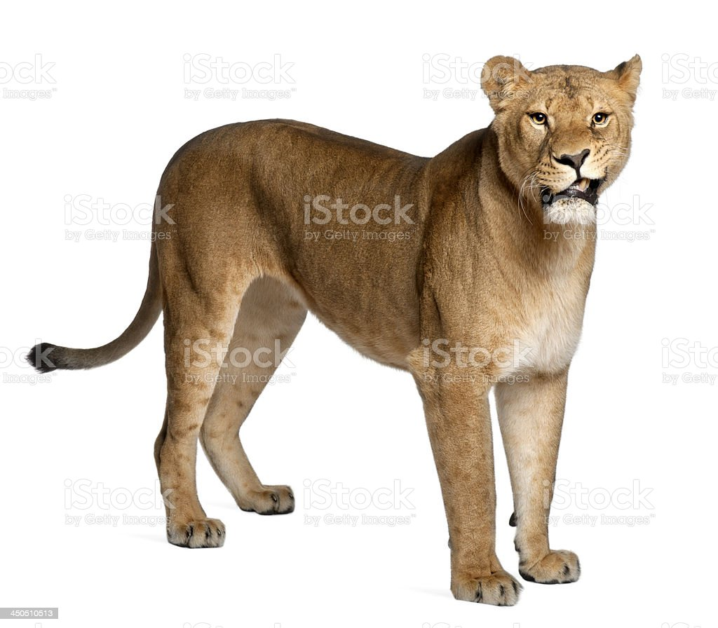 Lioness, Panthera leo, 3 years old stock photo