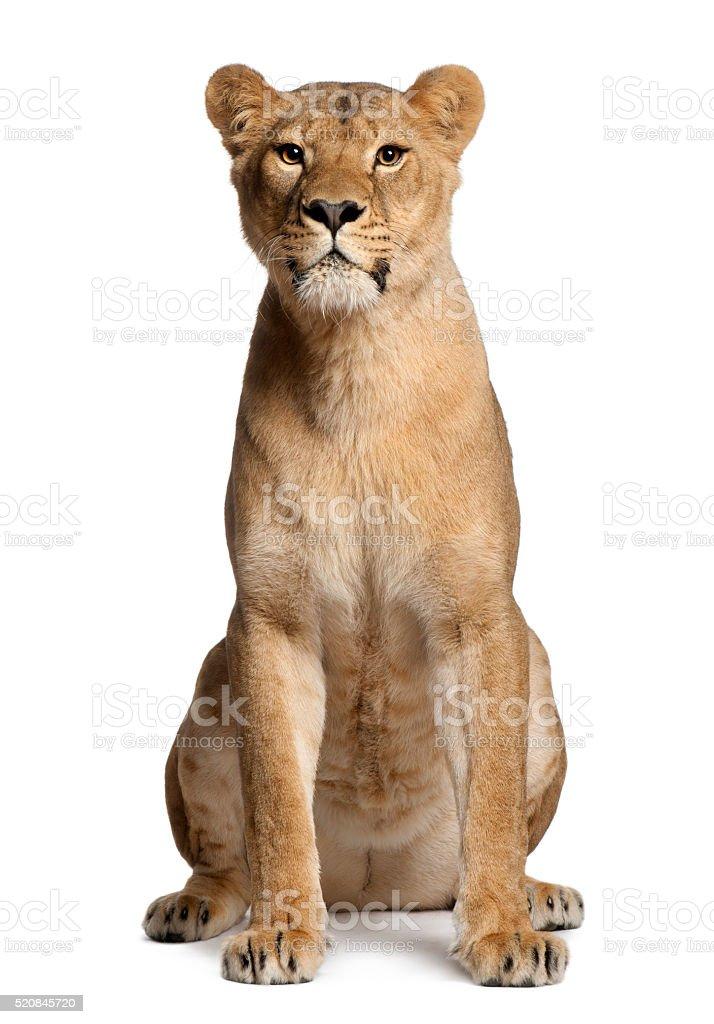 Lioness, Panthera leo, 3 years old, sitting stock photo