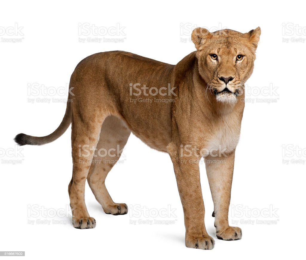 Lioness, Panthera leo, 3 years old, standing stock photo