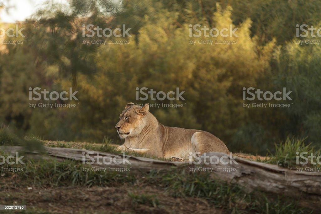 Lioness, Panthera leo stock photo