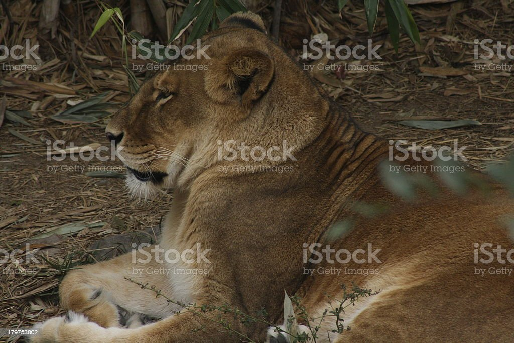 Lioness royalty-free stock photo