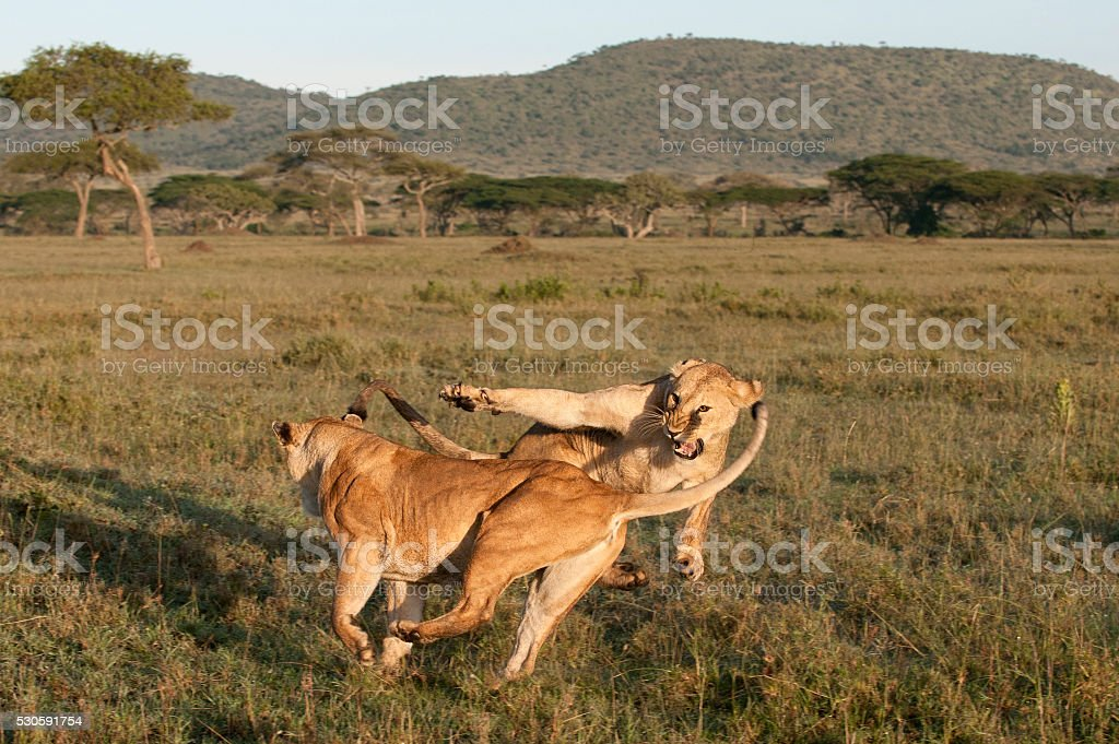 Lioness playing together at the Serengeti National Park, Tanzania, Africa stock photo