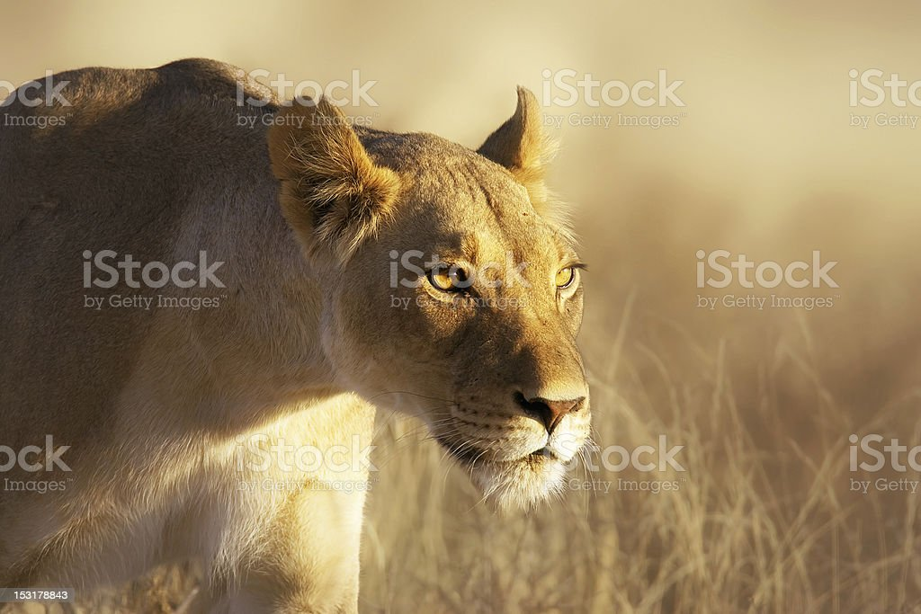 Lioness portrait royalty-free stock photo