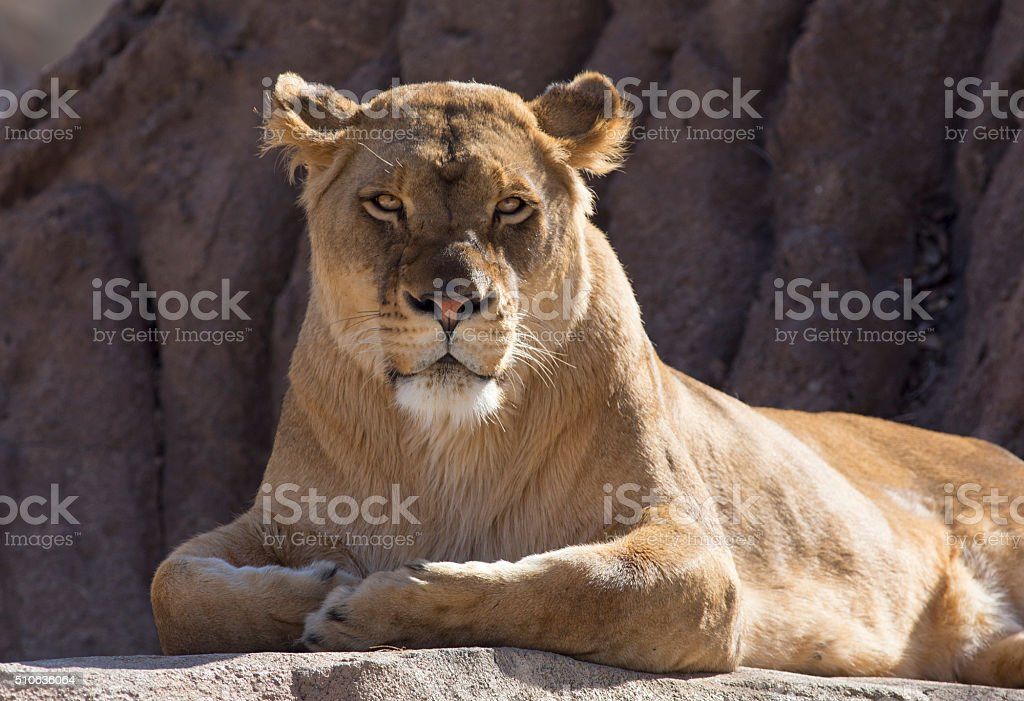 Lioness Portrait - Stock image stock photo