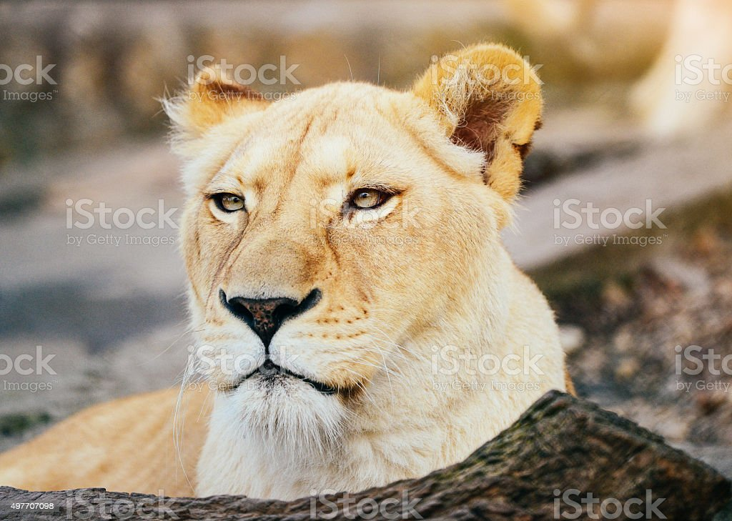 Lioness ready for hunt, looking at its prey stock photo