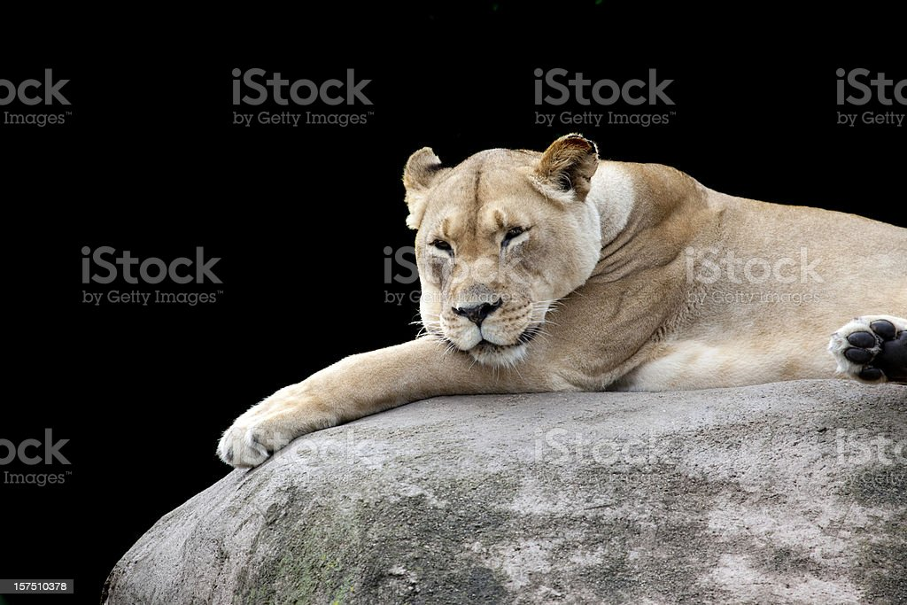 Lioness Reclining on Large Boulder stock photo