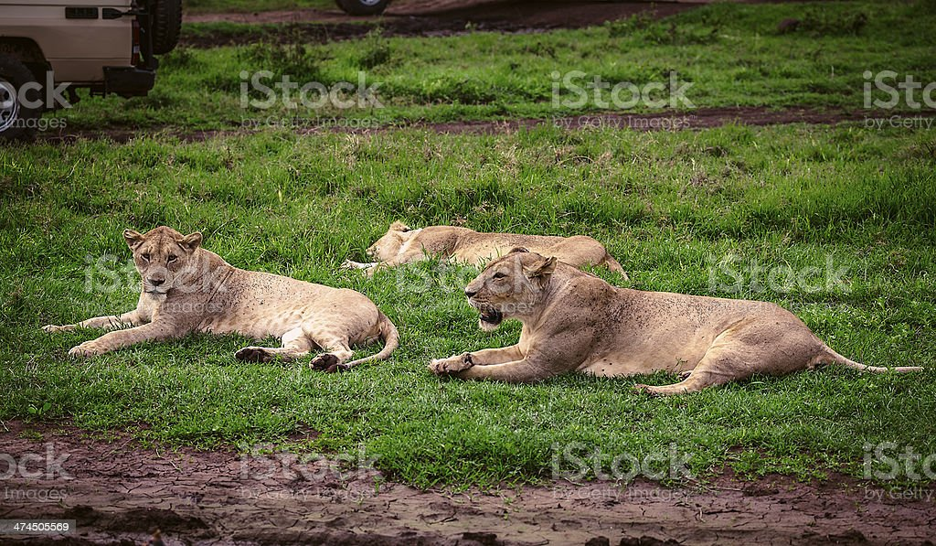 lioness relaxing near the safari car stock photo