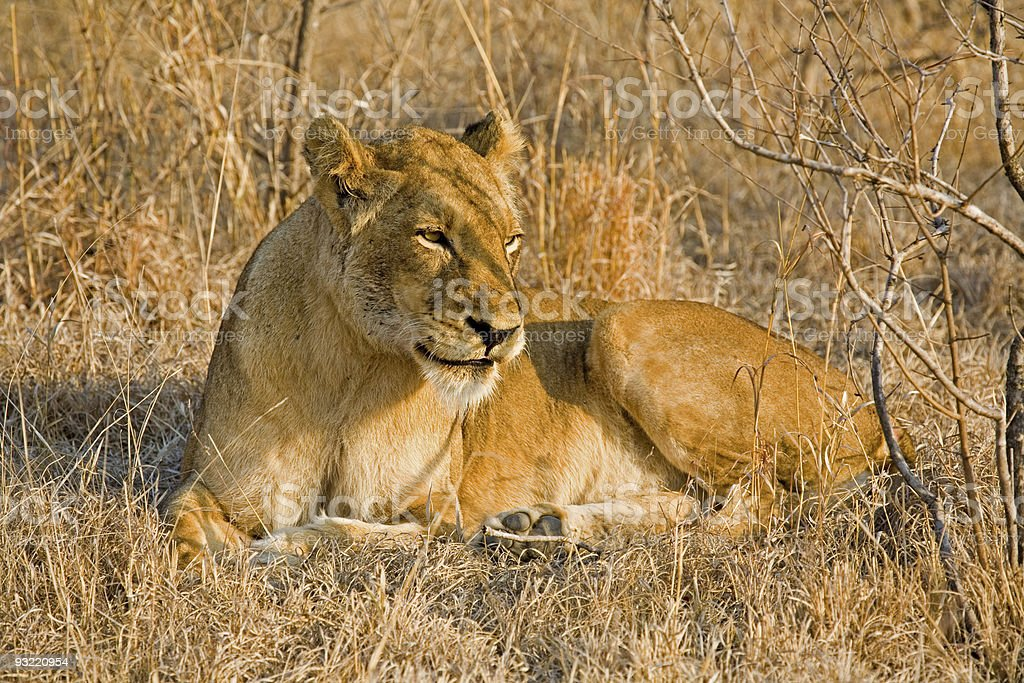 Lioness resting in the grass stock photo
