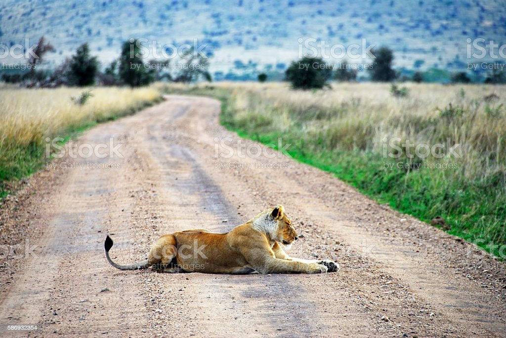 Lioness resting on dirt road,Ngorongoro Crater,Tanzania stock photo