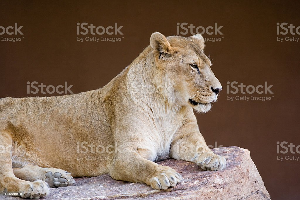 Lioness Resting on Rock royalty-free stock photo