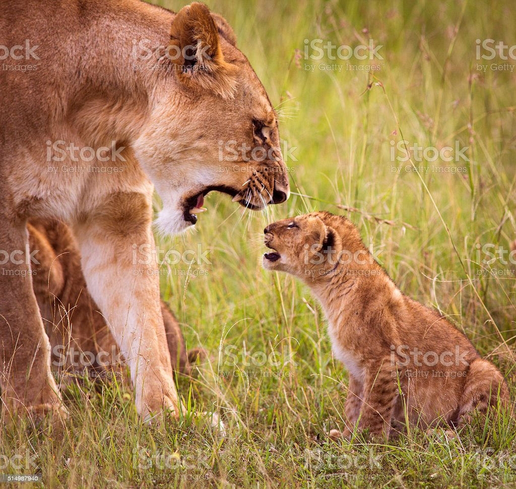 Lioness roaring at young cub stock photo