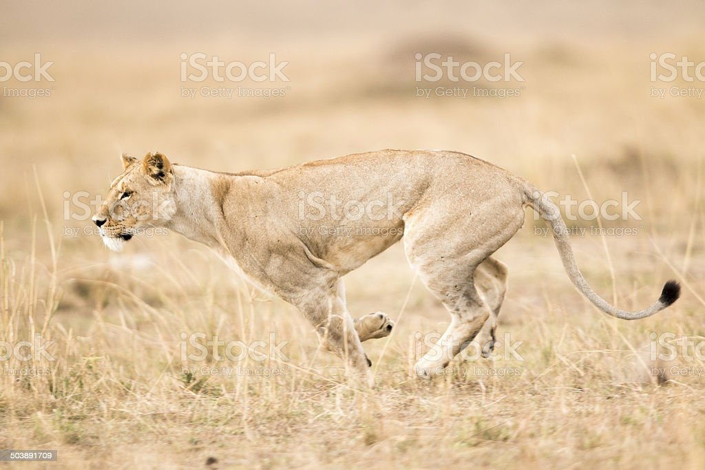 Lioness running, Masai Mara, Kenya stock photo